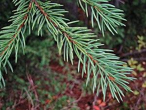 Picea engelmannii - Foliage