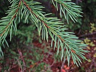 Picea engelmannii - Image: Engelmann Spruce 7777