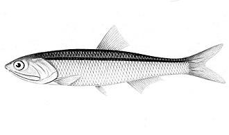Peruvian anchoveta - Image: Engraulis ringens
