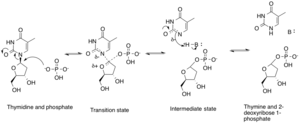 Thymidine phosphorylase - Thymidine phosphorylase mechanism