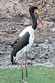 Ephippiorhynchus senegalensis (45974726921).jpg