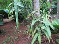 Epiphyllum oxypetalum - നിശാഗന്ധി 02.JPG