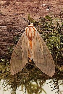 <i>Amastus</i> genus of insects
