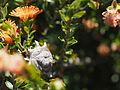 Eremaea brevifolia (fruit).JPG