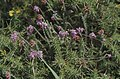Erica tetralix. Old Castle Down. Dry slope, facing west. 11.8.78 (25385610619).jpg