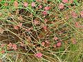 Eriogonum grande rubescens (20109303569).jpg