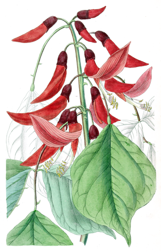 Camden Park Estate - Illustration of Erythrina ×bidwillii 'Camdeni' — a cultivar developed at Camden Park.