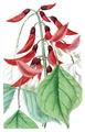 Erythrina x bidwillii 'Camdeni'.png