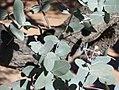 Eucalyptus-melanophloia.jpg