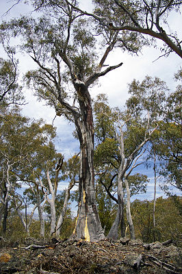 Eucalyptus haemastoma growing on rocks.jpg