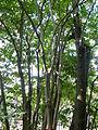 Eucommia ulmoides-Jardin des plantes 01.JPG