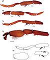 Eucteniza golondrina male holotype.jpg