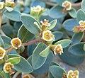 Euphorbia fendleri 3.jpg