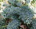Euphorbia myrsinites Parc floral.JPG