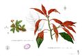 Euphorbia pulcherrima Blanco1.167.png
