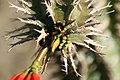 Euphorbia viguieri 2zz.jpg