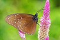 Euploea mulciber barsine male ventral view 20150202.jpg