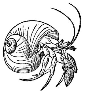 Pagurus bernhardus - Illustration by Augusta Foote Arnold.