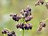 Fagopyrum esculentum seed 001.jpg