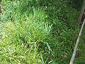 Falcaria vulgaris dans le jardin écologique du MNHN.jpg