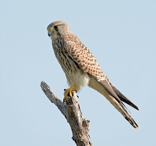 File:Falco tinnunculus -Tal Chapar Sanctuary, Rajasthan, India-8.jpg