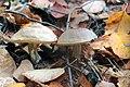 Fall Mushrooms (15459363125).jpg