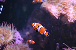 Ocellaris clownfish - Specimen from the Mystic Aquarium