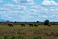 Family of elephants crossing the plain (5232116859).jpg