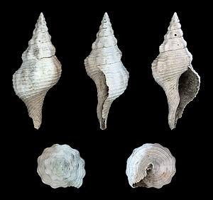 Fasciolariidae - Fasciolaria scalarina