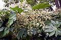 Fatsia japonica, Parliament Gardens,Victoria Australia (4705470923).jpg