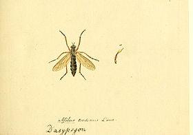 Fauna Germanica, Diptera 1793, vol.1, p14, Asilus teutonus Linn. Dasypogon.jpg