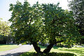 Feeringbury Manor split double trunk tree, Feering Essex England 1.jpg