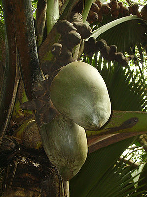 Wildlife of Seychelles - The endemic palm coco de mer (Lodoicea maldivica)