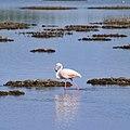 Fenicottero rosa nello stagno di Cabras.jpg