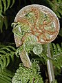 Fern head at Mona Vale (fernery).jpg