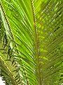 Ferns (1242272524).jpg
