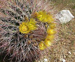 Ferocactus cylindraceus 1.jpg