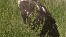 File:Ferruginous Hawk (Buteo regalis).webm