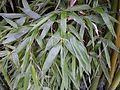 Feuillage de bambou bamboo leaf VAN DEN HENDE ALAIN CC BY SA 40 05 BG PDP -14451032455Ai.jpg