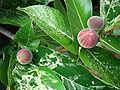 FicusAspera04 FlamingoGardens Asit.jpg