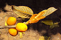 Ficus drupacea 18.JPG