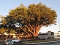 Ficus elastica Brasília.jpg