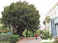 Ficus macrophylla (Orangeraie).jpg