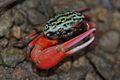 Fiddler Crab (Uca crassipes?) (6263284060).jpg