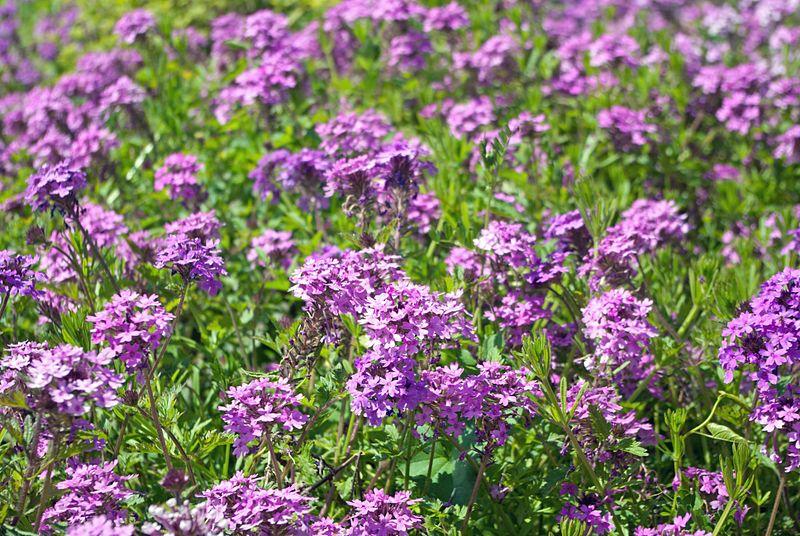File:Field of Flowers (7087988293).jpg