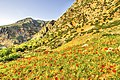 Field of Poppies in Chefchaouen, Morocco.jpg