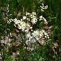 Filipendula vulgaris Bobrovnya4.JPG