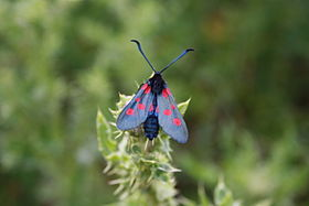 Five Spot Burnett moth.jpg