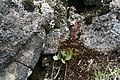 Fjällbräcka - Saxifraga nivalis0239 - Flickr - Ragnhild & Neil Crawford.jpg
