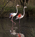 Flamingos 6 (5375580433).jpg